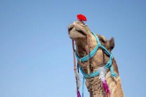 פסטיבל הגמלים בפושקר